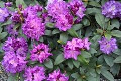 grossblumige Rhododendron Hybriden