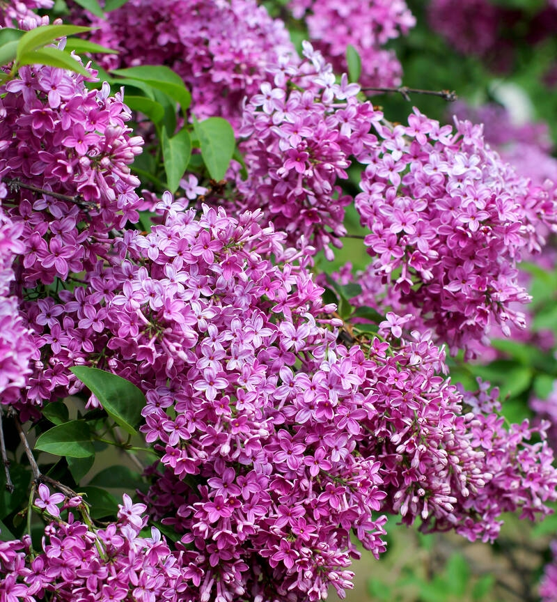 Ziergehölze/Blütensträucher